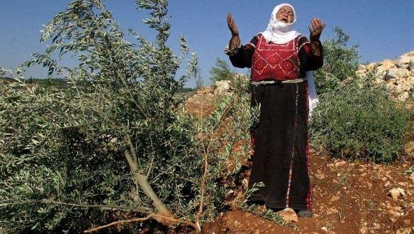 https://www.telesurenglish.net/__export/1440007499088/sites/telesur/img/news/2015/08/19/palestine-olive_crop1440007030651.jpg_1718483346.jpg