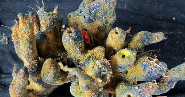Australia to Use Herpes on Pesky Fish   News   teleSUR English