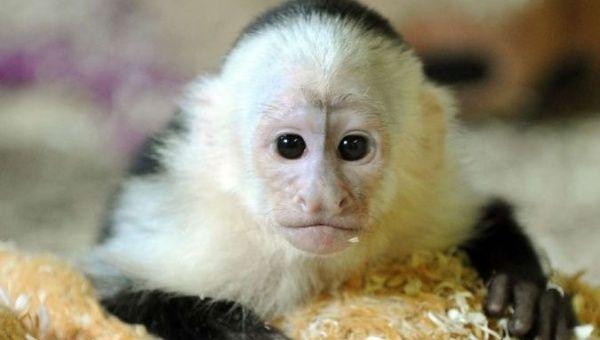 Panama's White-Face Capuchin Monkeys Seen Using Stone Tools